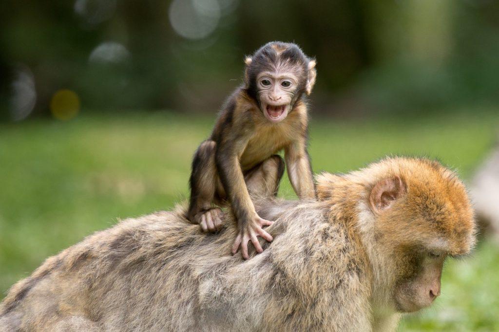 ape-berber-monkeys-mammal-affchen-50988