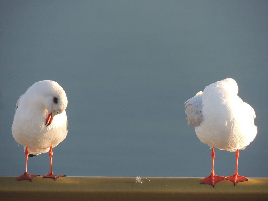 seagulls-781674_1280